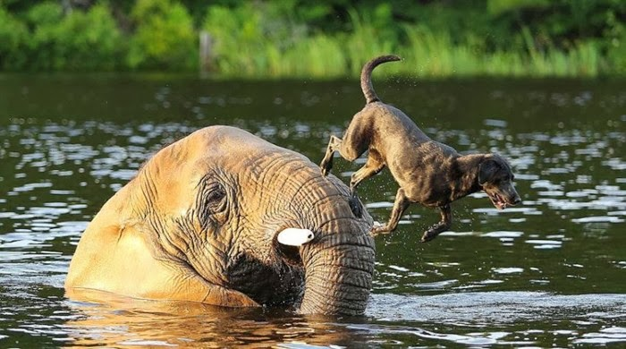Bubbles the African elephant and Bella the black Labrador, both residents at the Myrtle Beach Safari in South Carolina