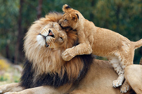 'King' Lion with his cub 2