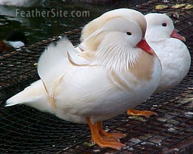 f l aves ornamentais bem vindos ao f l aves ornamentais
