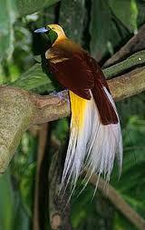 Burung Cendrawasih Terindah di Dunia