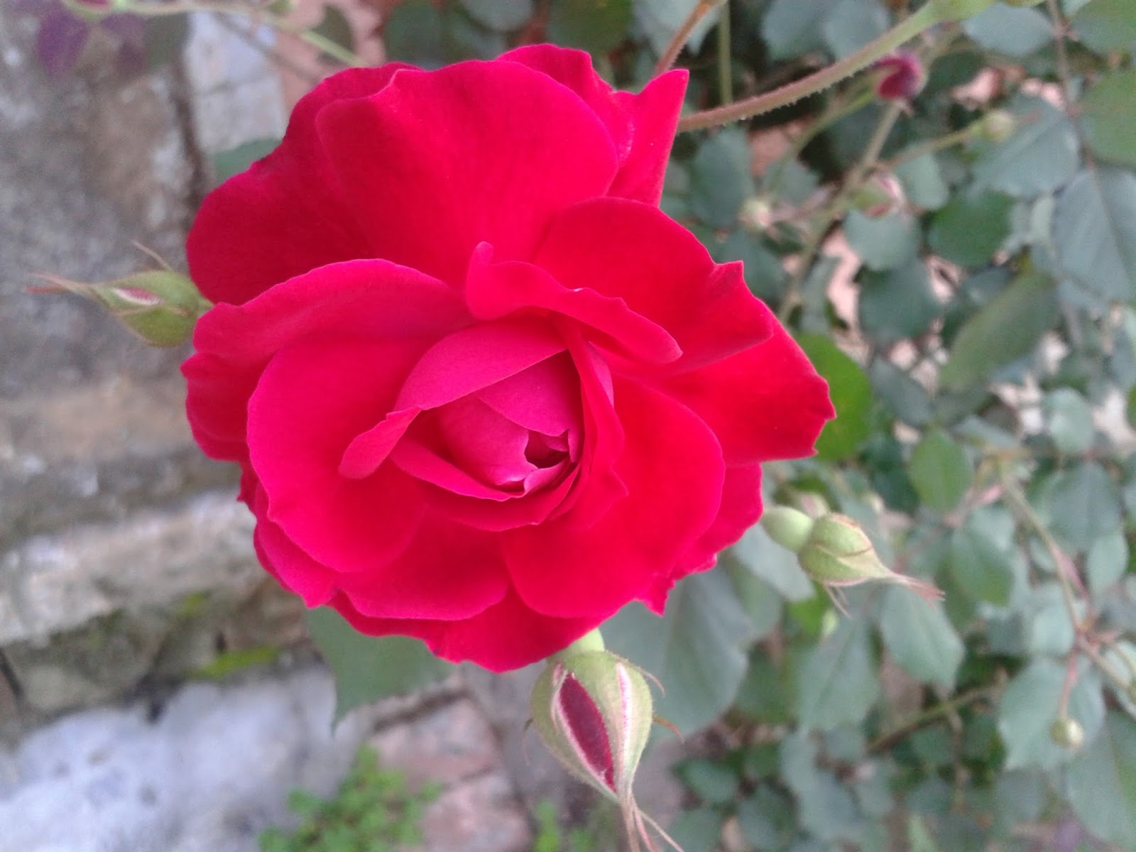 HD Red Roses Wallpapers And Images These Type Of Is Common In India Desi Pictures Pure Color
