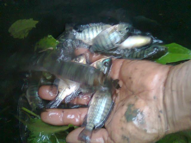 Ikan Nila Yang Telah Berhasil Dipanen