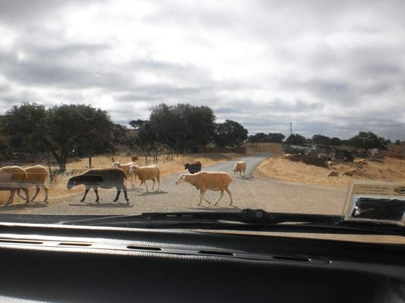 Ovelhas na estrada