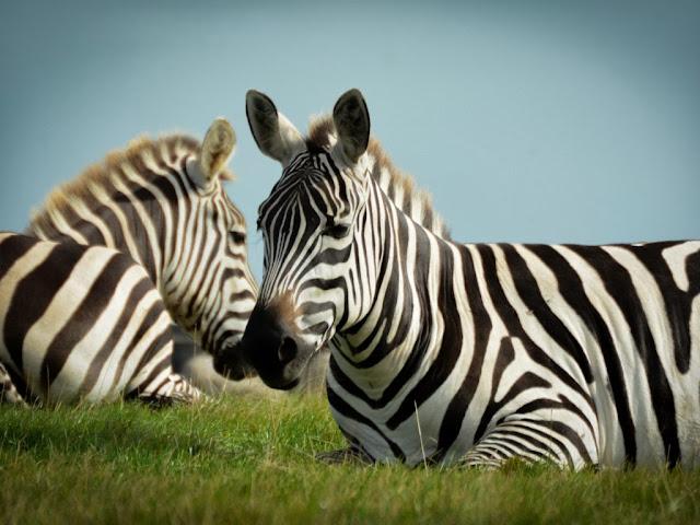 """<img src=""""http://4.bp.blogspot.com/-deOxkTnxEvo/UrGm3wqhzII/AAAAAAAAF7U/Xnt-HZ4Jzks/s1600/75g.jpeg"""" alt=""""Zebra Animal wallpapers"""" />"""
