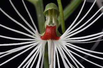 Orchid of Sumatra