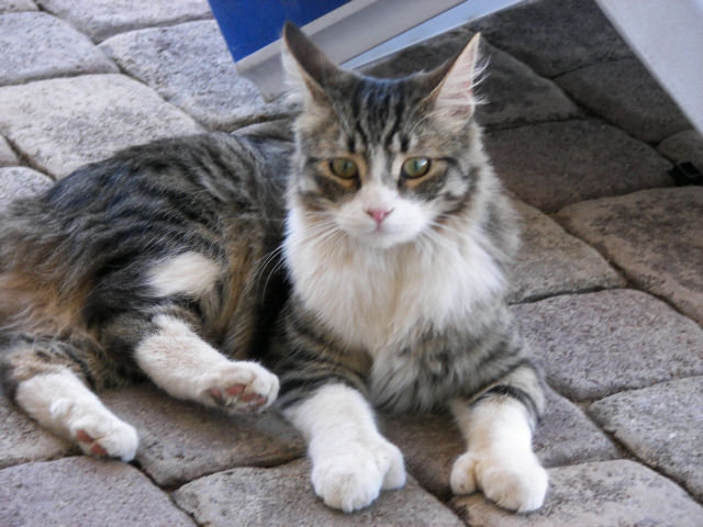 Six Toed Cats For Adoption