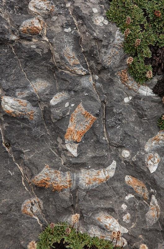 Saddle Mountain Horn Coral