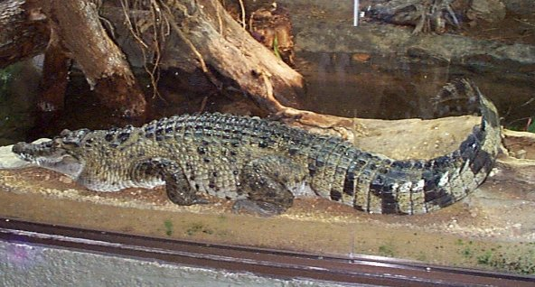 Philippine crocodile - photo#12
