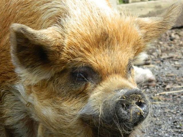 Pig 'Tries To Rape Woman'