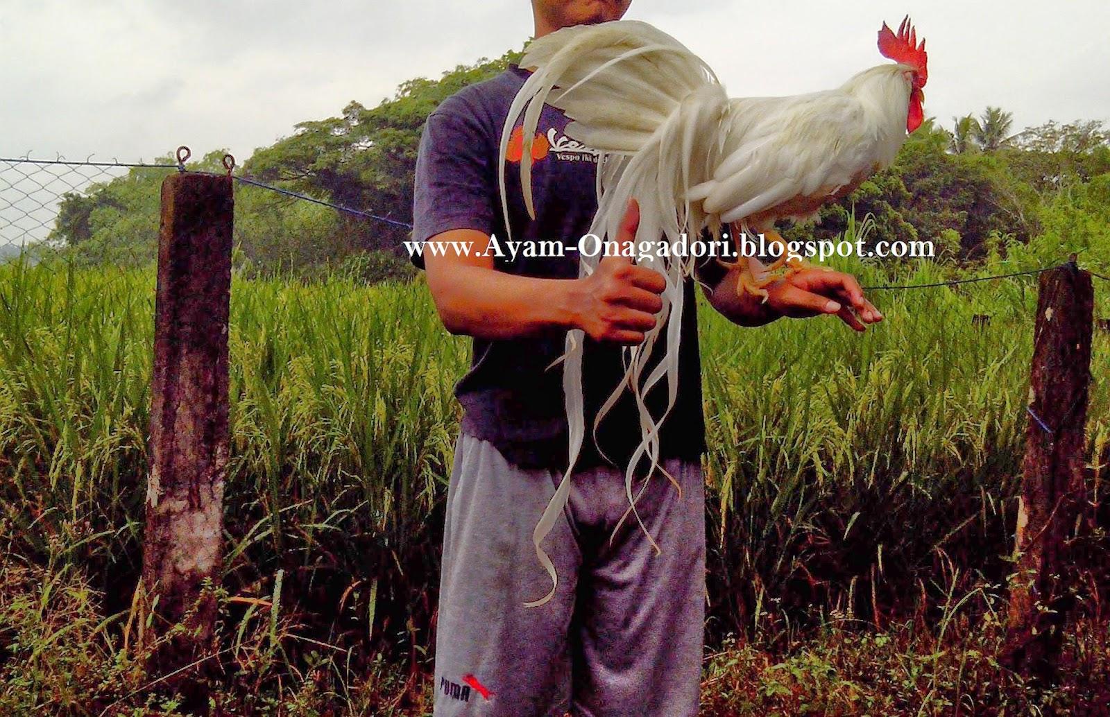 Ayam Hias Murah Jogja