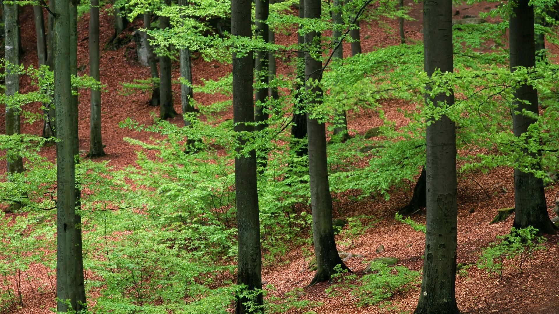 Hd wallpaper tree - Forest Tree Hd Wallpaper