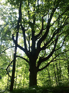 Old growth tree at Long Lake Campground - Northern Kettle Moraine State Forest