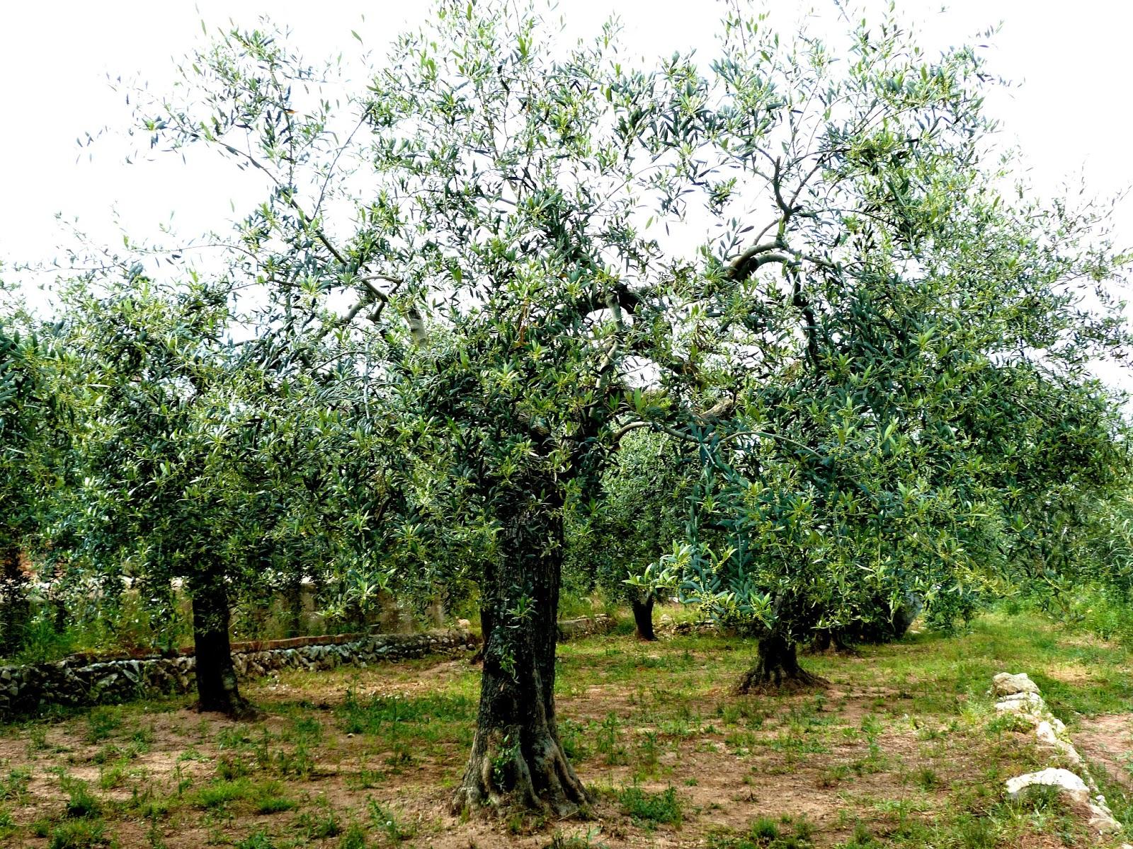 tarragonain-olivos