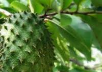 obat asam urat tradisional obat penyembuh asam urat tanaman obat kanker daun obat kanker
