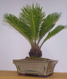 Sago palm (Cycas revoluta) has been widely cultivated as ornamental plants, used to decorate the garden.