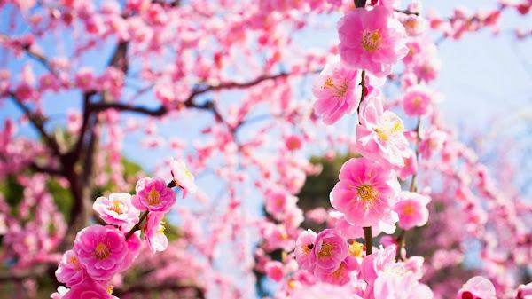 http://4.bp.blogspot.com/-dgys_T7g7kY/UtNUWJ1z0TI/AAAAAAAAEHs/5oYPmv1QSZ0/s1600/Hoa+Dao+tet+8.jpg