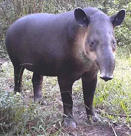حيوان التابير Tapir+%25281%2529