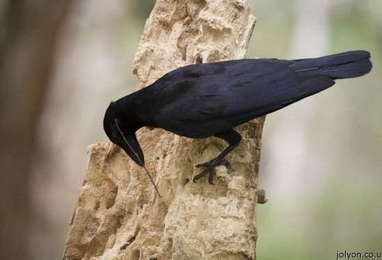 Evidence that Crows Pass on Learning Socially