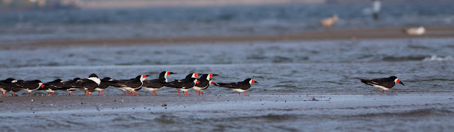 Black Skimmer - Plumb Beach, New York