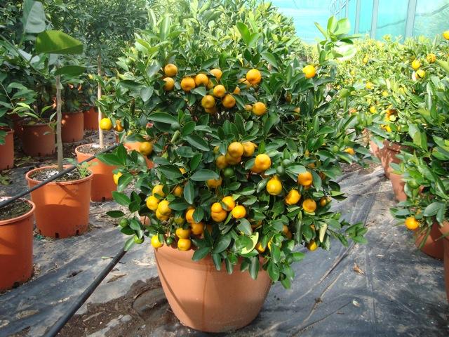 Orto per tutti piante da frutto agrumi for Piccoli alberi da frutto