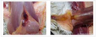 Cơ ngực xuất huyết, tích nước dưới da (Ảnh: ĐH Cornell)