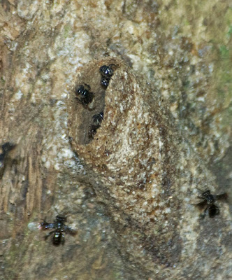 Stingless bees (Tetrigona sp)