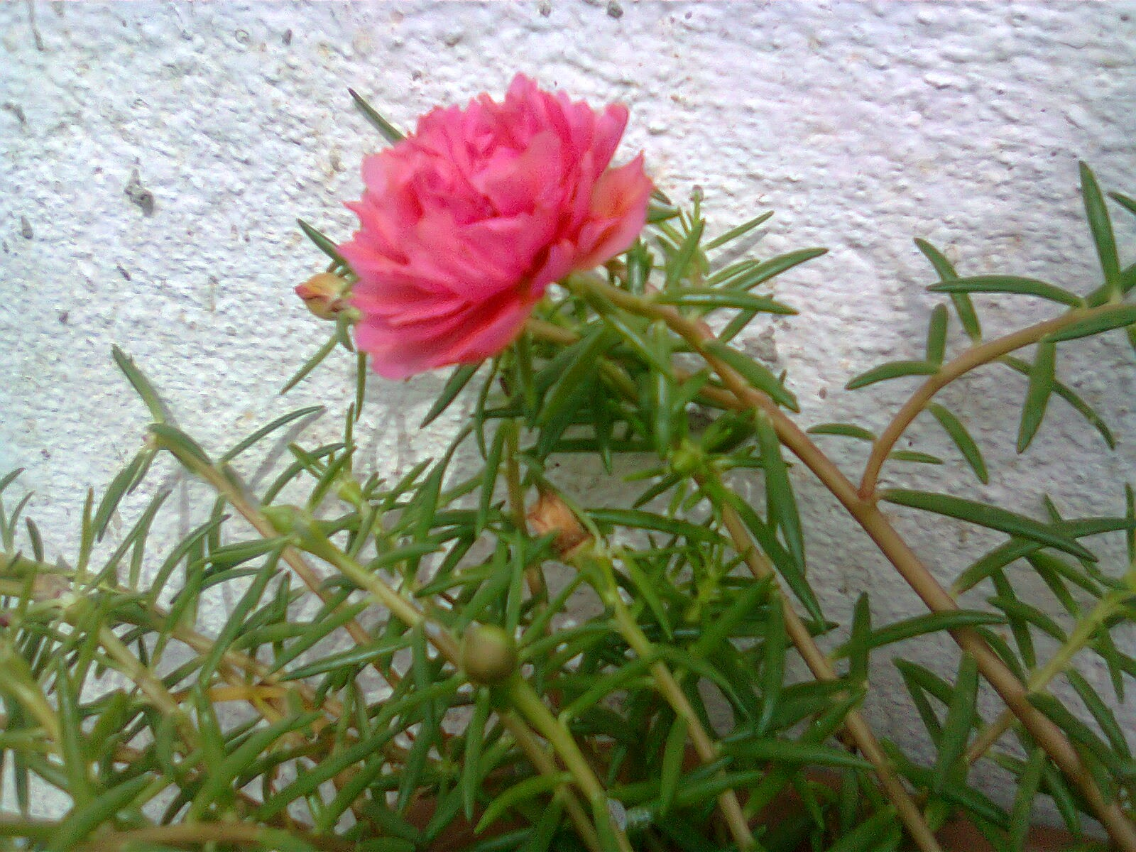 ros jepun