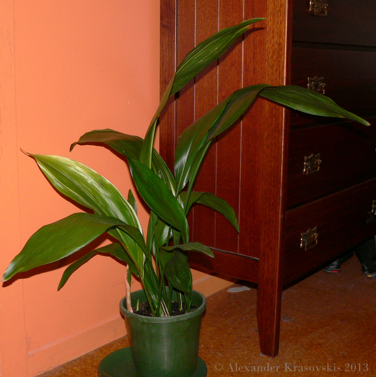 Aggregata plants gardens classic common house plant aspidistra aka cast iron plant - Low light indoor house plants ...