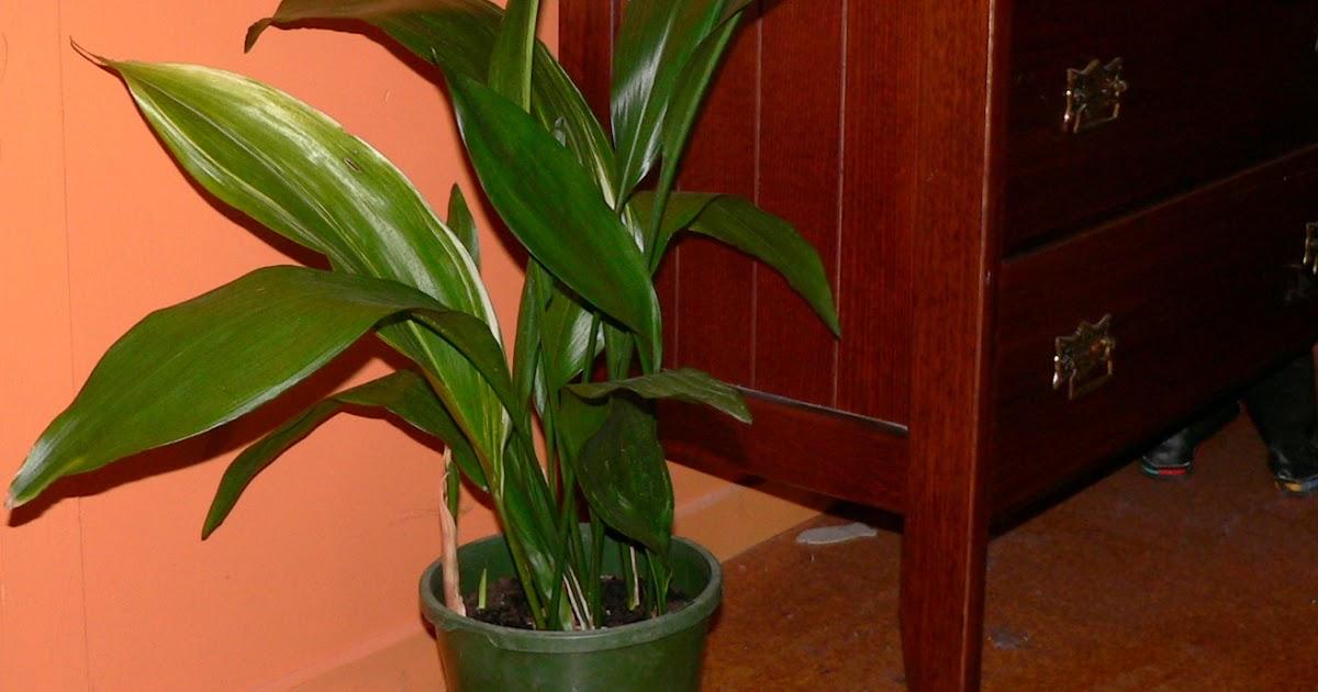 Aggregata plants gardens classic common house plant for Classic house plants