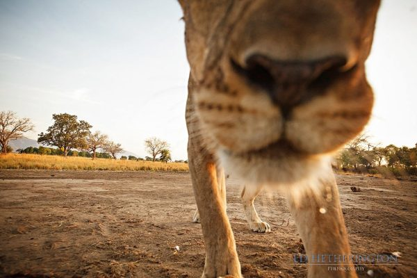 Lion steals camera, lion pictures, lion photos, animals stealing things
