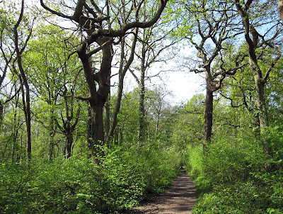 Coppiced hazel, last cut 4 winters ago, and standard oaks in Spring Park. 22 April 2011.