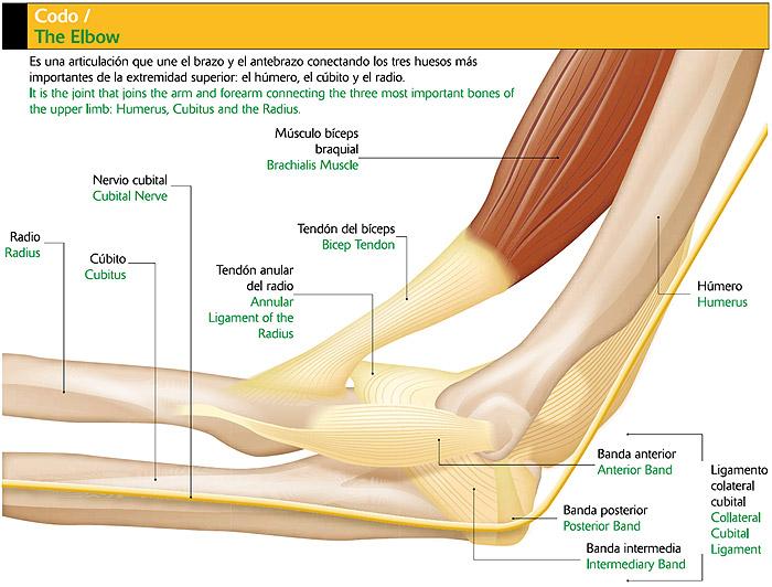 Blog del Dr. Villamor: Luxación de codo, una lesión infrecuente y ...