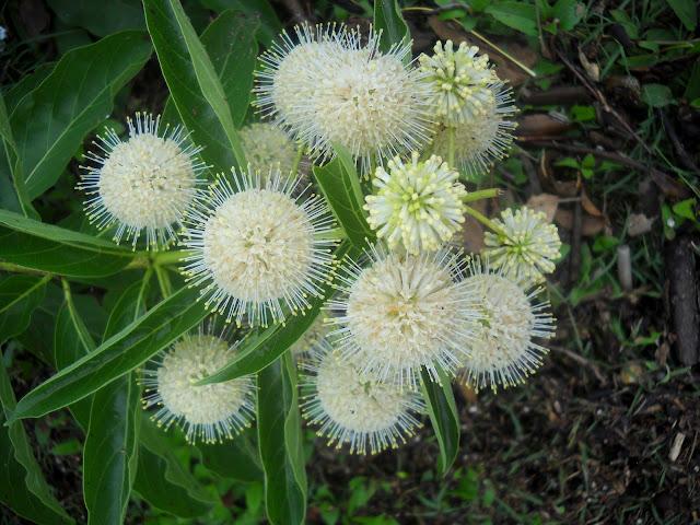 Buttonbush flowers at White Rock Lake, Dallas, Texas
