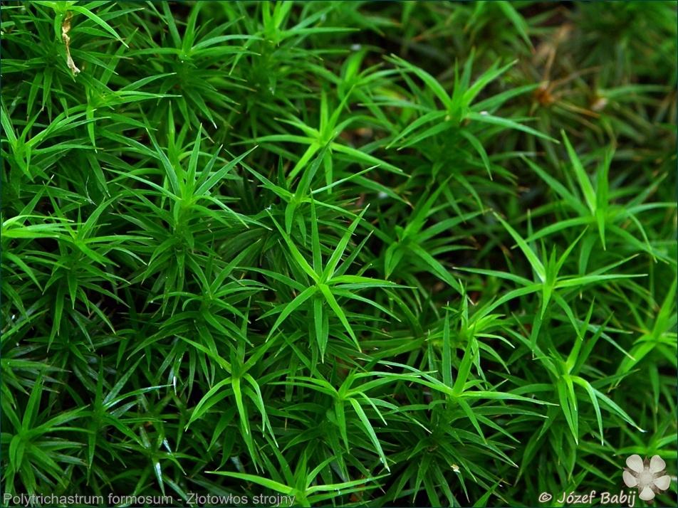 Polytrichastrum formosum - Złotowłos strojny