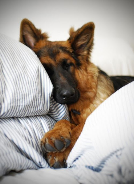 How much a German Shepherd Sleeps?