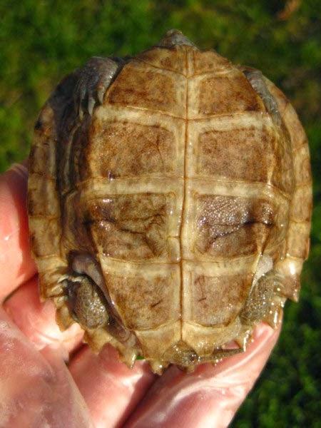 Heosemys grandis - Tortuga palustre asiática grande