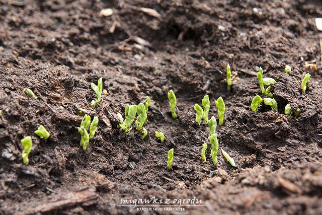 bób, wzrost bobu, migawki z ogrodu, maj, lipiec 2013
