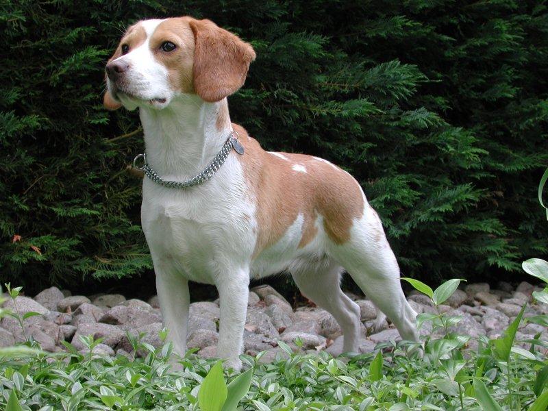 Types Of Beagle | Dog Beagles
