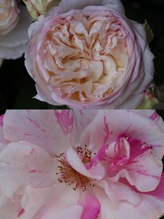 ✿ Fleur du mois : Rose