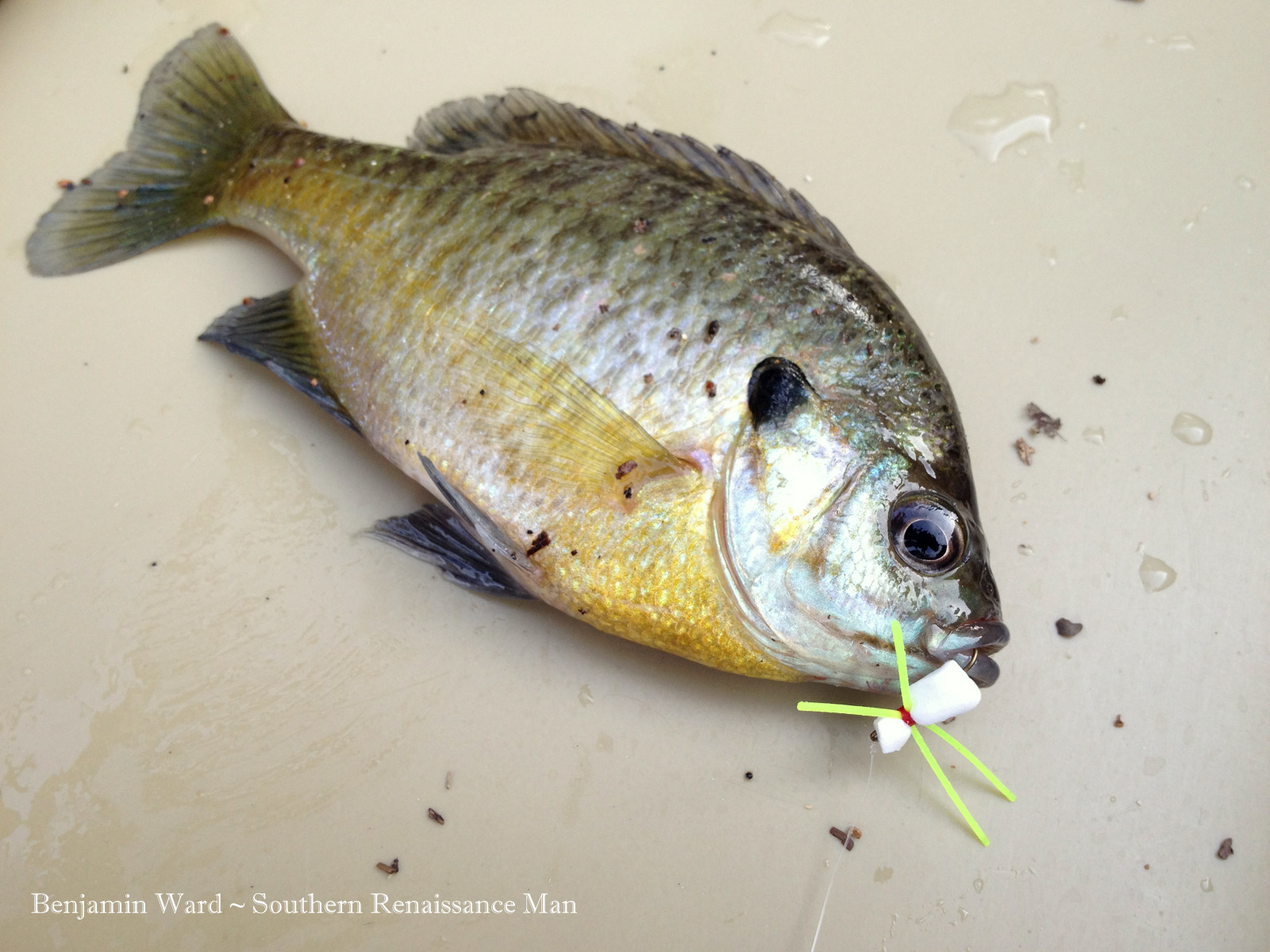 Southern renaissance man fly fishing swift creek for Swift fly fishing