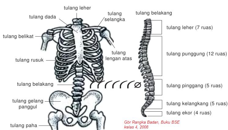 Struktur Rangka Manusia, rangka badan