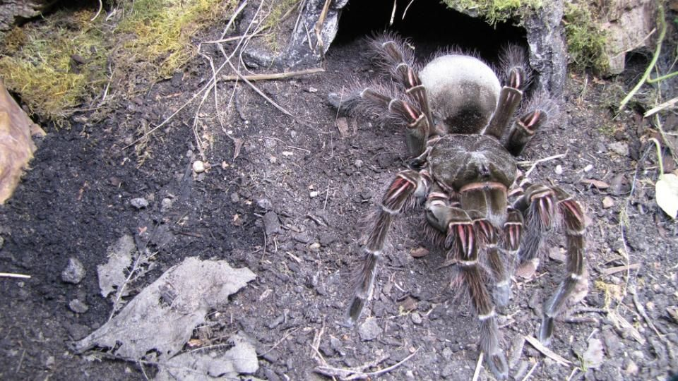 largest spider in the world - photo #46