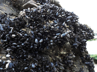 Mussels on rocks in Cornwall