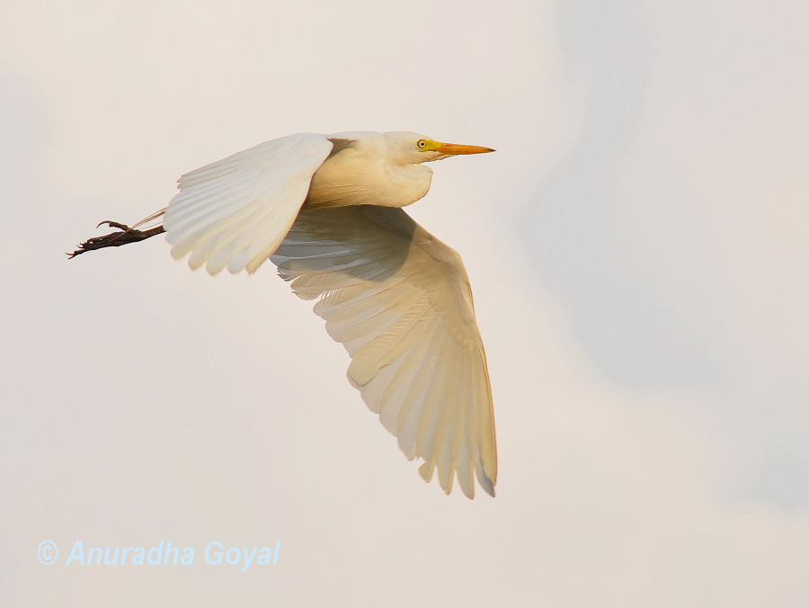 Cattle Egret bird in-flight, Goa