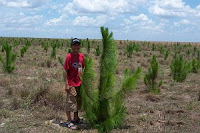 One year old Caribbean Pine trees in Vichada.