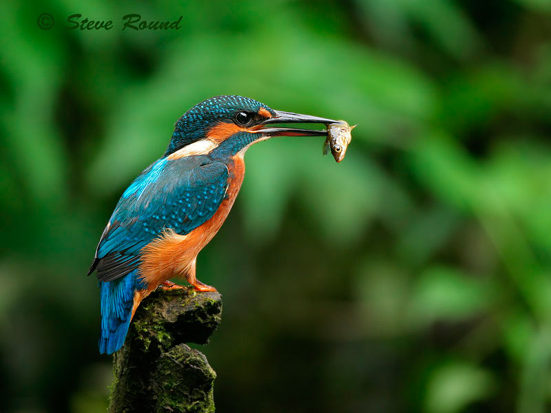 kingfisher, bird