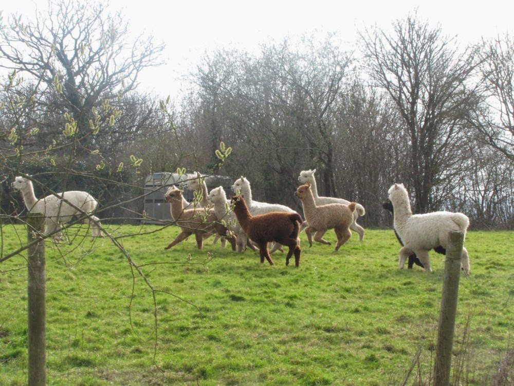 westhill alpacas fat sheep and over excited alpacas