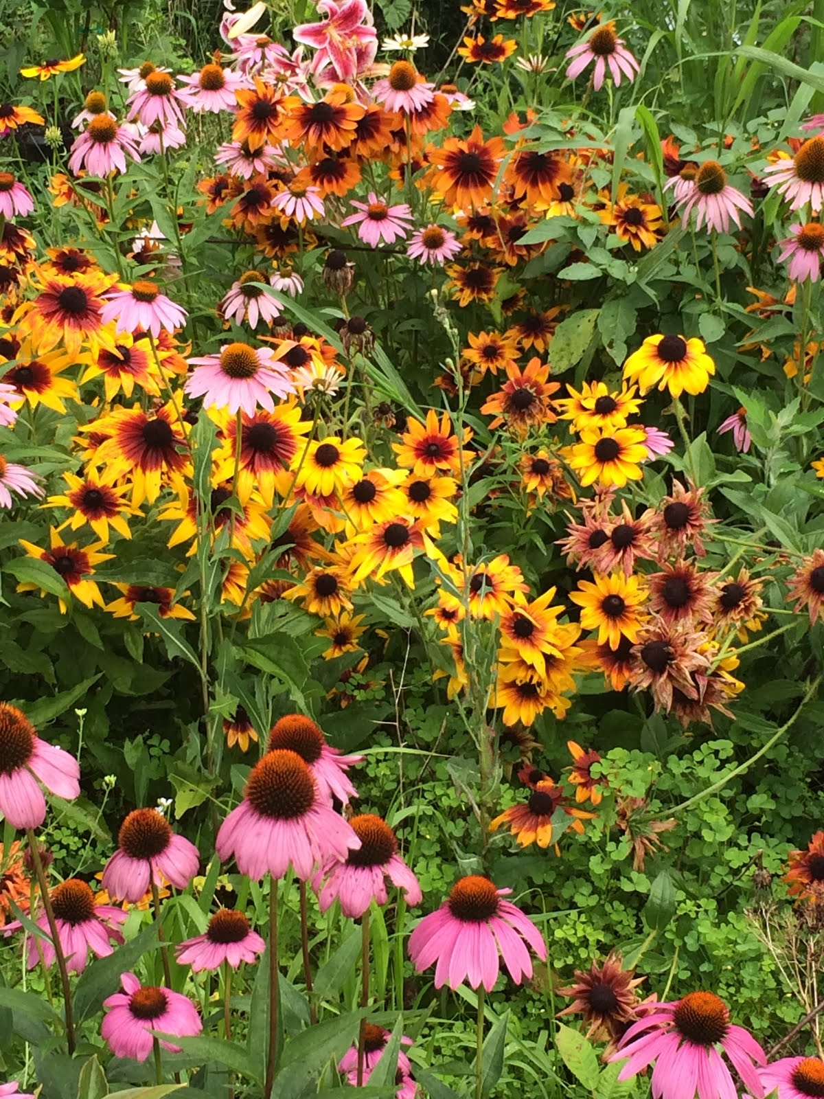 Rudbeckia And Coneflowers