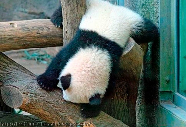 panda bears pictures 9