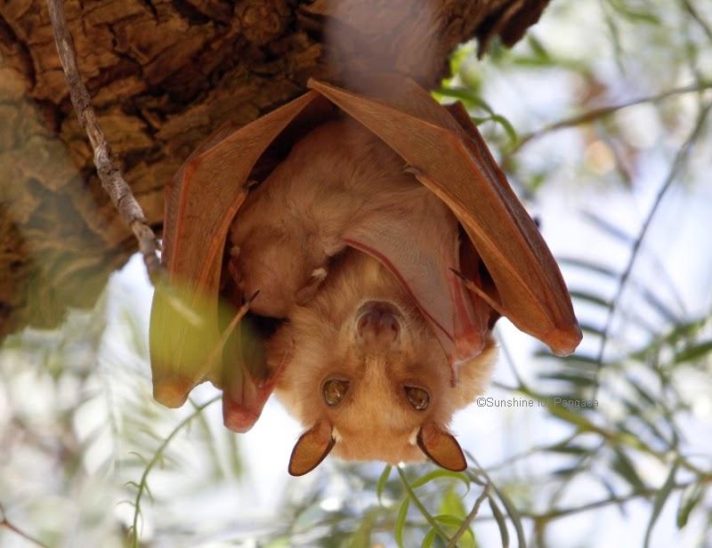 Epauletted Fruit Bat in Ethiopia